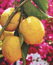 The sfusato lemon, typical of the Amalfi Coast