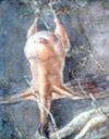 AMULATUM ALITER (Chicken fricassee)